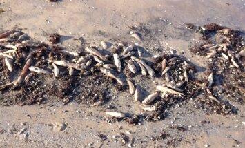 Foto: Liepājas pludmalē izskalots tonnām beigtu zivju
