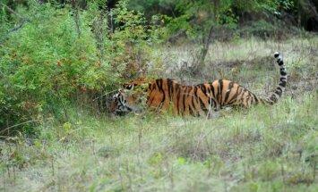 Амурский тигр Кузя, выпущенный Путиным, сбежал в Китай