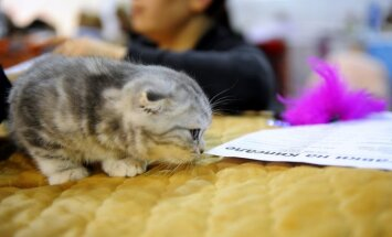 Krievijā tiesu izpildītāji uzliek arestu kaķēniem