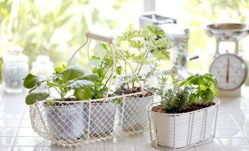 Konkurss: Parādi savu mazdārziņu uz palodzes vai balkona