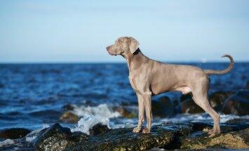 Suns kā ciets riekstiņš – mīluļu šķirnes, kuras neiesaka nepieredzējušiem saimniekiem