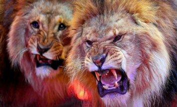 Teksasas zoodārzā lauvu tēviņš šokējoši noslepkavo lauvu mātīti
