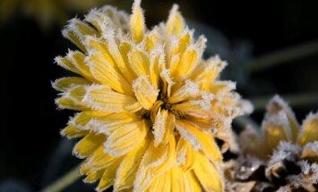 Foto: Kā pirmā sarma apsegusi rudens ziedus Jelgavā