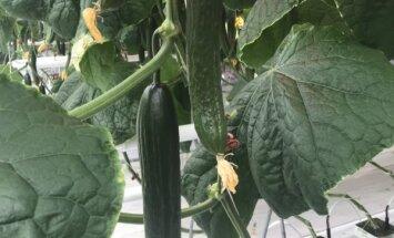 Foto: Tirdzniecībā nonākusi jaunā siltumnīcas gurķu raža