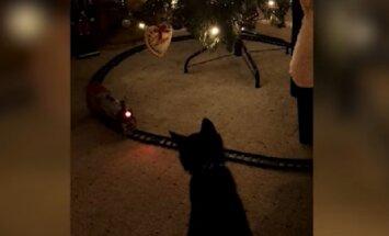 Video: Spēļu vilcieniņš attur kaķus no uzbrukšanas eglei