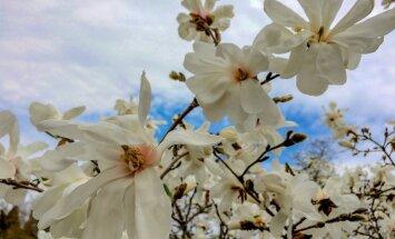 Foto: Apburošās magnolijas plaukst Botāniskajā dārzā
