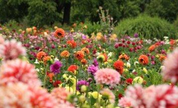 Foto: Krāsu eksplozija LU Botāniskā dārza dāliju dobēs