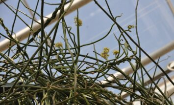 Nacionālajā botāniskajā dārzā pēc 50 gadiem uzziedējusi pātagu sarkostēma