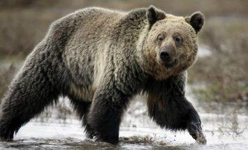 Krievijas austrumos divi cilvēki gājuši bojā 'izsalkušo lāču krīzē'