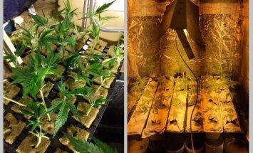 Rīgā atkārtoti pieķer kādu marihuānas audzētāju
