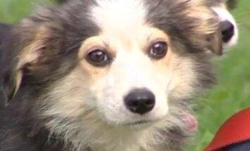Kāpēc ir kaitīgi suni turēt pie ķēdes?