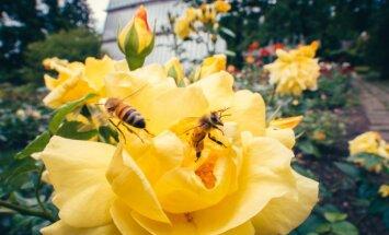 Foto: Botāniskajā dārzā pilnā plaukumā zied krāšņās dārza karalienes
