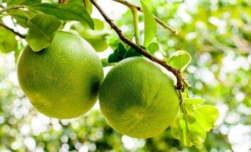 Gigantiskie augļi trauslajos zaros – kā aug eksotiskie pomelo