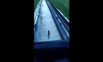 Spraigs video: Pelēns ieskrien rodeļu trasē un izdzīvo