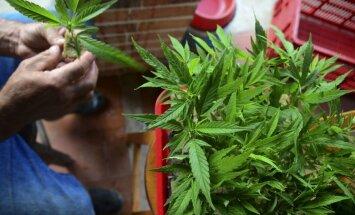 Aptauja: Floridas vēlētāji atbalsta medicīniskās marihuānas legalizāciju
