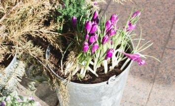 Spaiņos, celmos un pat vannā – idejas pavasara apstādījumiem dārzā