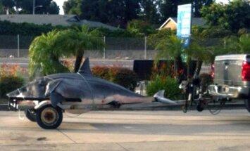 Kalifornijā noķerta milzu haizivs