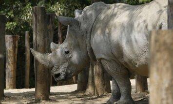 Носорогам в чешских зоопарках специально спиливают рога