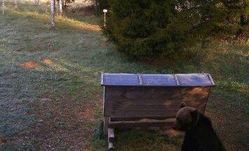 По следам медведя: как исследуют живущих в лесах Латвии косолапых