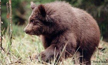 Kamčatkas ciemā policisti nošauj ieklīdušu lāci