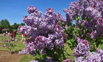 Foto: Violeto toņu parāde – Ceriņu svētki Dobelē