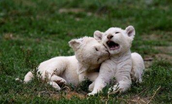 Foto: Zoodārzā Čehijā dzimuši reto balto lauvu piecīši