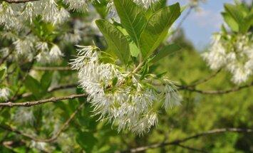 Balto ziedu parāde – botāniskajā dārzā zied Virdžīnijas sniegpārsliņu koks