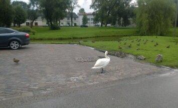 Aculiecinieka foto: Salaspils slavenie gulbji iekaro autostāvvietu