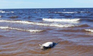 Lasītājs pamana jūras viļņos šūpojamies roņa līķi
