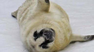 Траур в Таллинском зоопарке: пришлось усыпить тюлененка и единственного манула