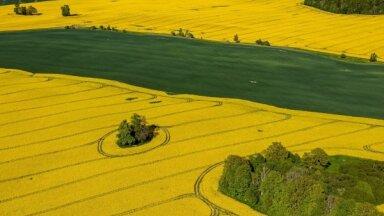 Foto: Latvijas lauki koši dzeltenā rapšu rotā