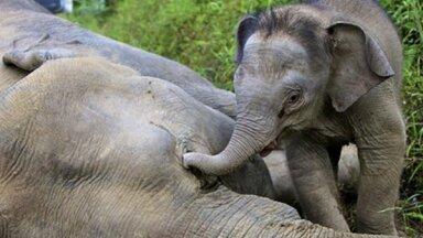 Шесть слонов погибли в Таиланде, пытаясь спасти слоненка