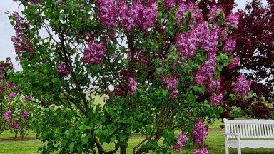 Foto: Krāšņais ziedonis Dobeles ceriņu dārzā