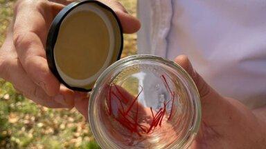Latvijā iegūta pirmā safrāna raža un jau iecepta gardā kliņģerī