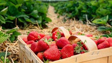 42 клубничных поля в Латвии, где можно собрать ягоды своими собственными руками