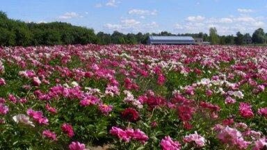 Семь мест в Латвии, в которых можно полюбоваться на цветущие пионы