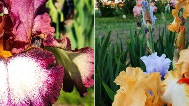 ФОТО. Прекрасные ирисы в саду селекционера Лаймониса Закиса