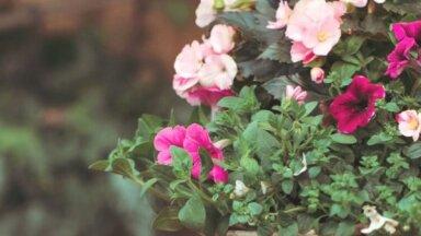 Konkurss 'Māja&Dārzs' lasītājiem – laimē skaistu grozu ar ziediem