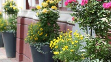 Tukums aicina baudīt rožu daili pilsētā un apkaimes dārzos
