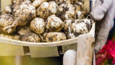 Kartupeļa līdzinieks – topinambūrs. Padomi audzēšanā un lietošanai uzturā