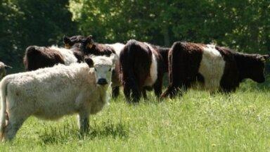 Коровы будут спасать исчезающие растения на берегу Кишэзерса