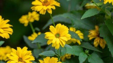 Dzeltenais akcents dārzā – skarbā saulesactiņa