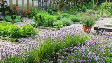 Foto: Gaumīgais ārstniecības augu dārzs Igaunijā, kurā ir kukaiņu viesnīcas