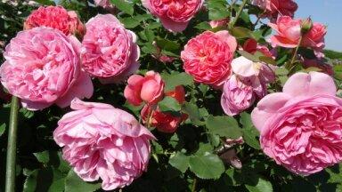 Rožu palutināšana ziedēšanas laikā