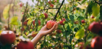Осенний уход за яблоней: что нужно знать?