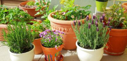 Выращиваем съедобные растения в горшках на балконе — советы эксперта