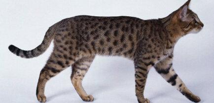 Калифорнийская сияющая (леопардовая) кошка