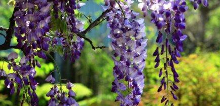Все про цветы. Глициния, посадка и уход в открытом грунте