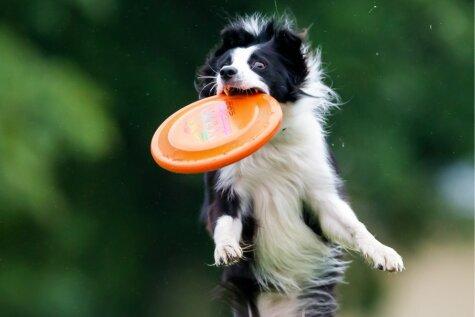 Собаки бывают летучие... когда играют в дог-фризби