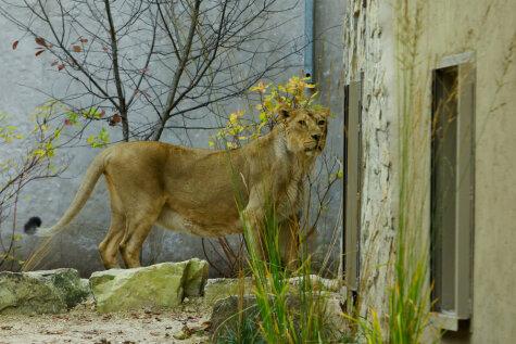 В Рижском зоопарке сделали новый вольер для львов; обживает его